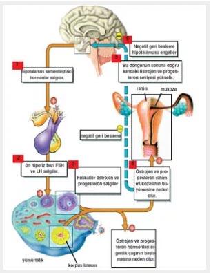 FSH and LH Hormones